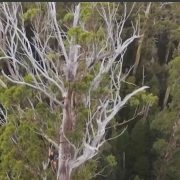 Tasmanian Tree Project – Display Video